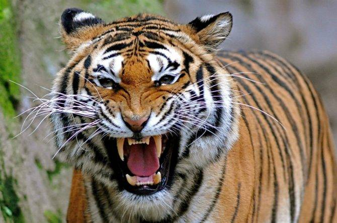 the_tiger_madhya_pradesh
